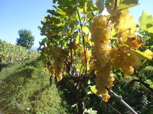 Какая стальная проволока подходит для виноградных шпалер